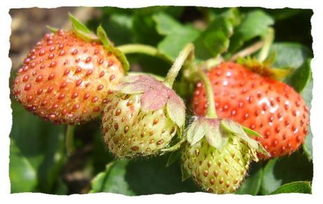 fraises.1217273457.jpg
