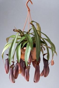Toutes les plantes avec leur tolerence de température minimal pour l'hiver. Plante-carnivore-nepenthes-L-1