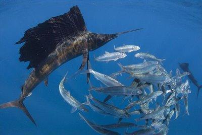 Sailfish hunting Sardines - Espadons voiliers à la chasse aux Sardines