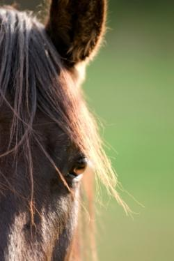 cheval,