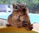 Un écureuil fan de cacahuètes