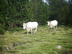 Vache des bois changeant de bosquet
