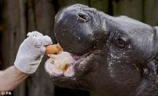 hippopotame marionnette Madagascar gros plan