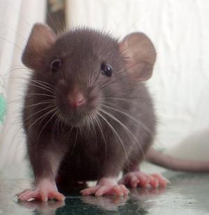 rat-leptospirose.1228362059.jpg