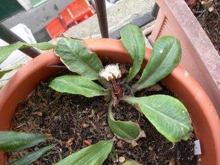Floraison hivernale du Chrysoplenium macrophyllum