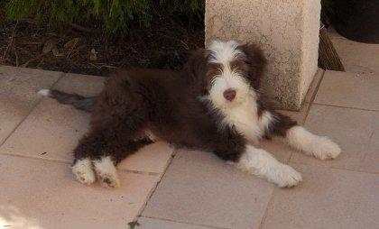 Dali Brown - bearded collie