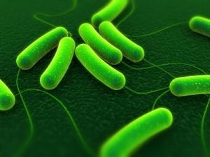 bactéries E.coli