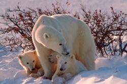 ours blancs famille