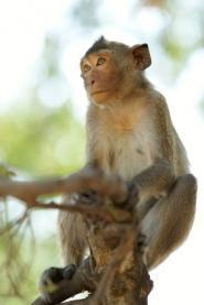 macaque à longue queue