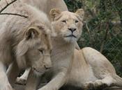 Lion blanc (Zoo Flèche)