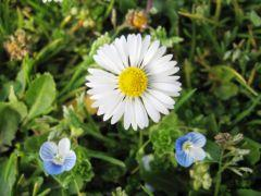 A_daisy_and_two_blue_flowers.jpg