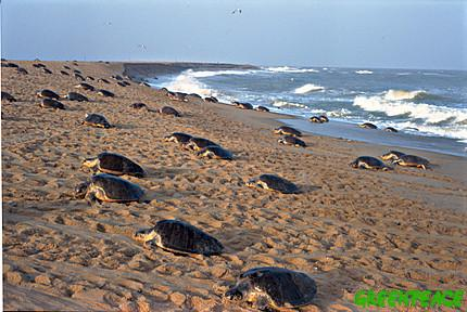 thousands-of-olive-ridley-turt
