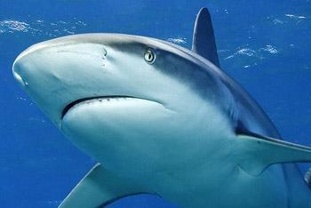Pétition pour la protection des requins en province sud
