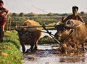 Birmanie Fermiers buffles d'eau dans rizière, Inlay.