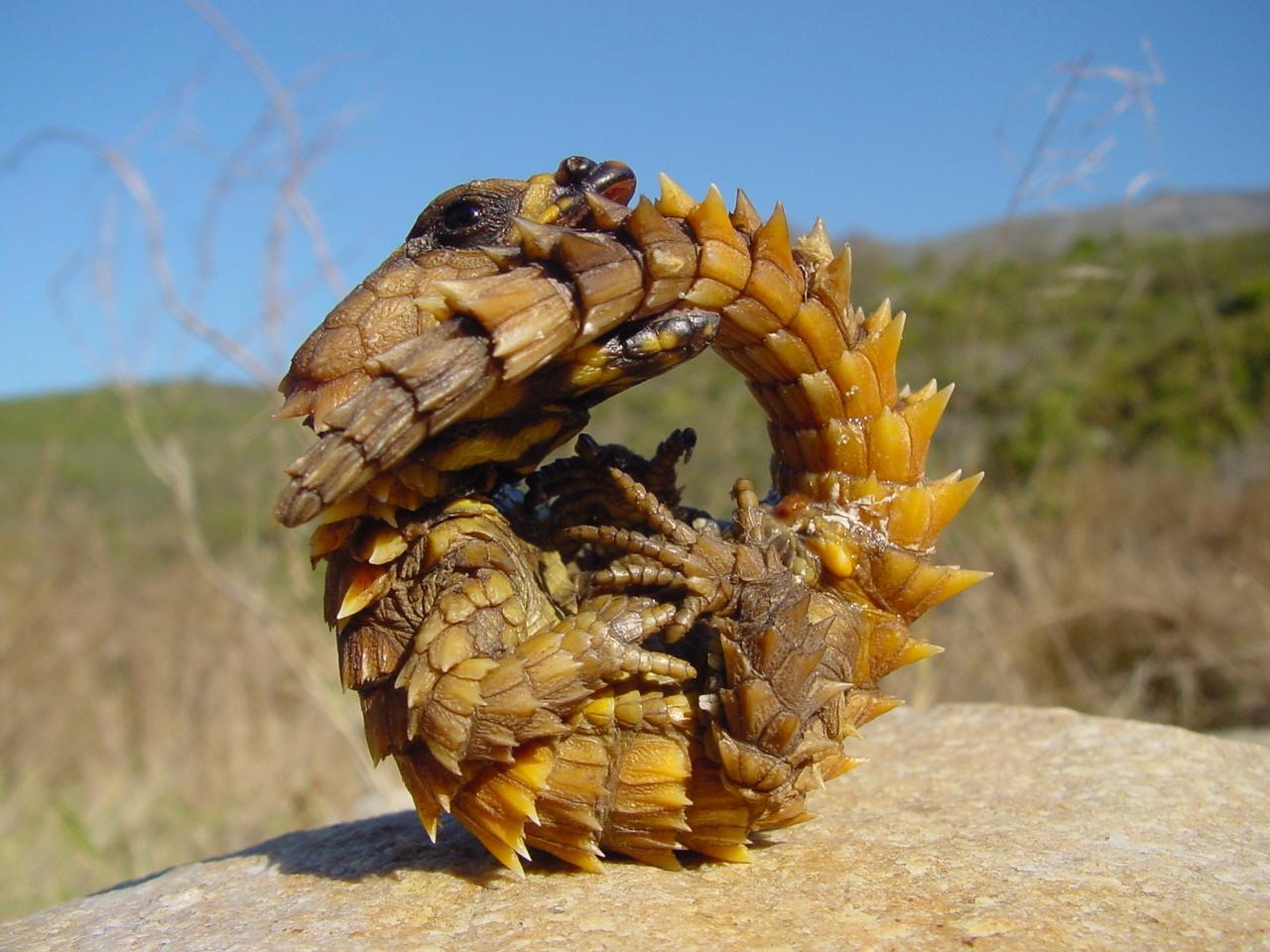 Nouvelle classification scientifique des reptiles.  Louroboros-vrai-L-1