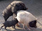 Débat cochon grippe porcine