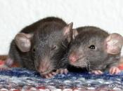 Rats: grossesse Harina