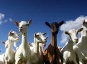 Google achète chèvres contre incendies