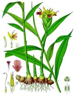 Zingiber officinalis