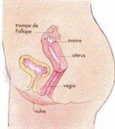 decription du vagin