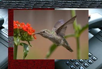 le colibri plus rapide qu 39 un avion de chasse voir. Black Bedroom Furniture Sets. Home Design Ideas