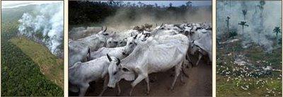 Les éleveurs bovins à l'assaut de la forêt amazonienne