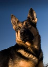chien berger allemand