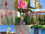 Talmont, village roses tremieres Talmont: hollicock flowered