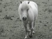farouches chevaux bretons...