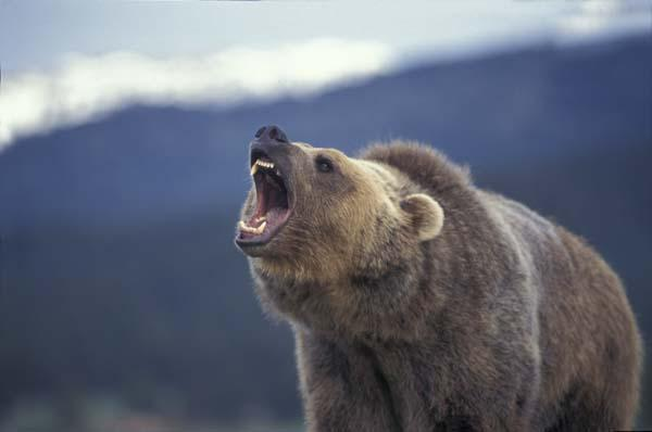 grizzly-des-rocheuses.1252262628.jpg