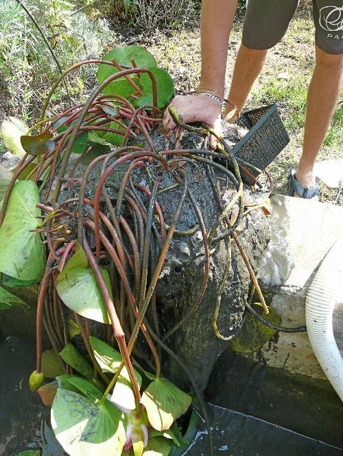 Bassin de Jardin : entretien et nettoyage d\'automne !...   À Voir