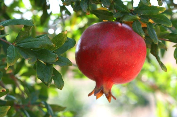 Red pomegranate  grenade rouge