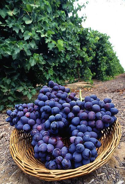 Fichier:Autumn Royal grapes.jpg