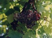 Ciseleuses raisins (Jean Follain)