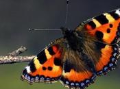 papillon Joseph