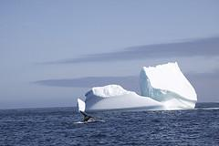 Humpback Whale Tail and Iceberg in Labrador