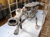 «Sarcosuchus imperator» trônant désormais Muséum d'histoire naturelle vous fait-il penser personne