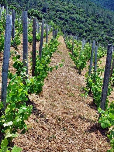 Pinot piquets