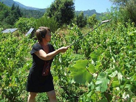 son de la vigne
