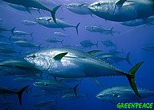 thons-rouges-thunnus-thynnus.jpg