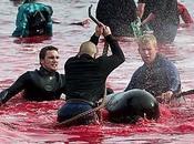 Grande Tradition Danemark Massacrer Dauphins.