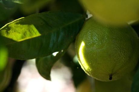 ベルガモット bergamot bergamota bergamote citrus bergamia