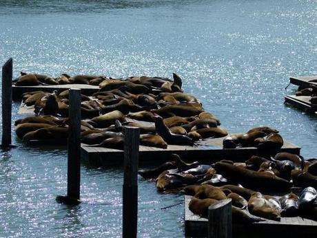 Lions de mer sur les quais de San Francisco, aux Etats-Unis.