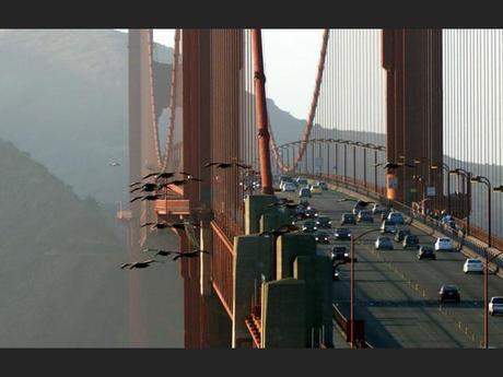 Vol de pélicans au-dessus du Golden Gate Bridge à San Francisco, aux Etats-Unis.