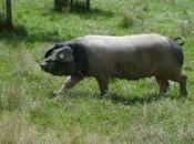 Pierre Oteiza, éleveur artisan porc basque
