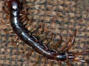 Lithobius forficatus
