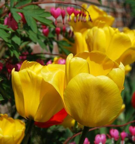 La tulipe (Tulipa)
