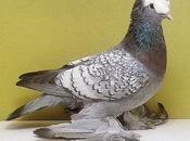 Importance minéraux oligo-éléments pour pigeon