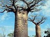 "Projection-rencontre ""Baobabs, entre ciel terre"""