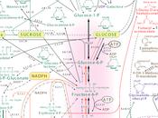 Petite révision voies synthèse métabolique biochimique
